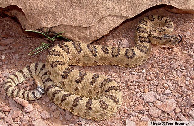 rettlesnake arizona